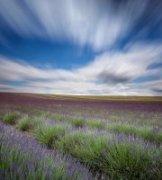 隽作品《Hitchin Lavender Field》